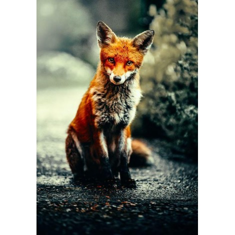 UK STOCK Curious Fox - Photo by Alex Andrews